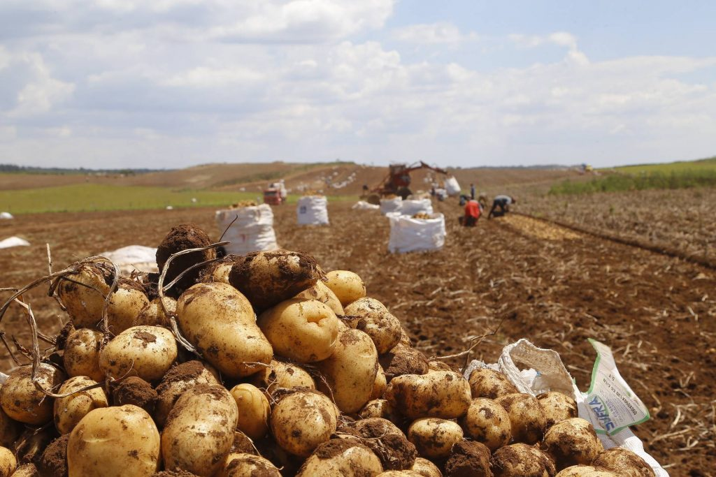 Paraná é o segundo maior produtor de batata do País